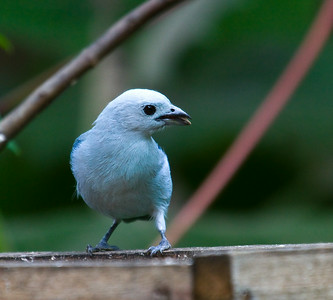 blue-gray tanager coastal