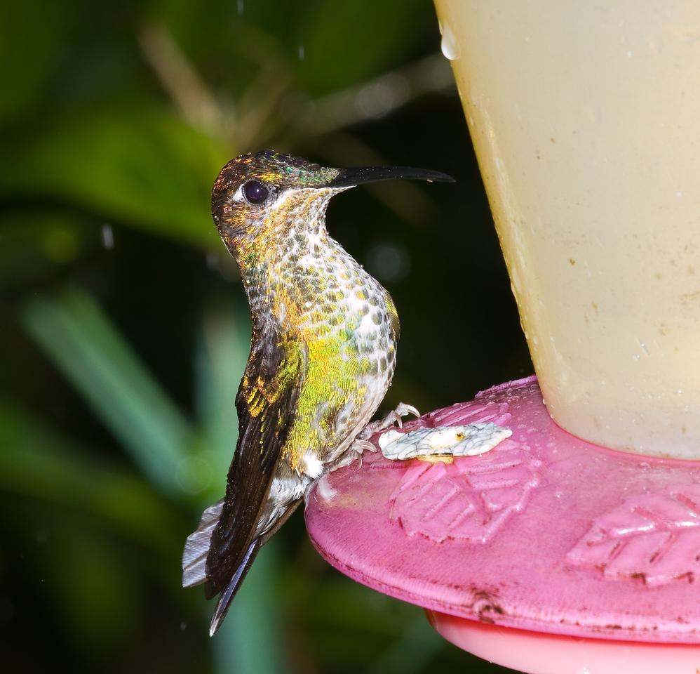 many-spotted hummingbird