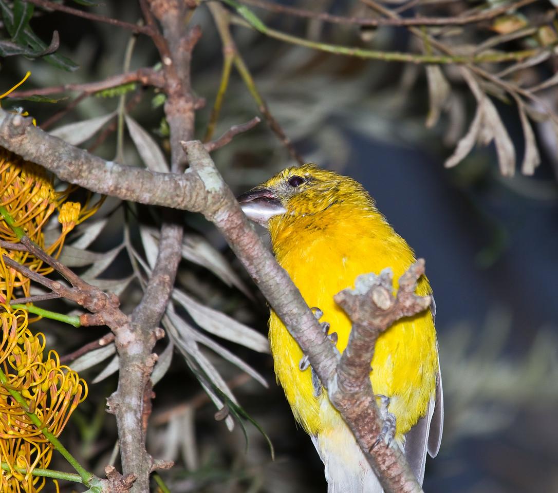 southern yellow grossbeak