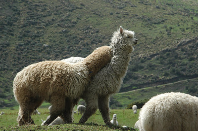 Alpacas Near Papallacta Village North of Quito