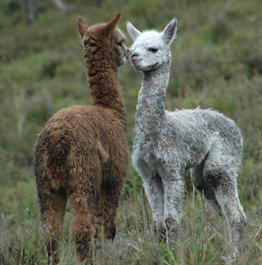 Alpacas in love