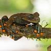 Linda's  Torrenteer (Hyloscirtus lindae)
