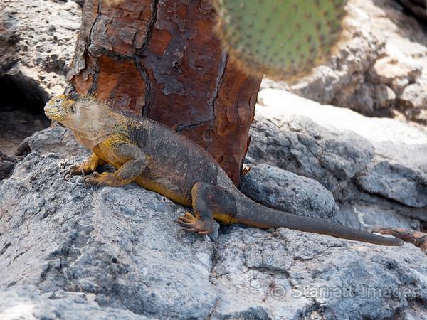 Galapagos Land Iguana, male