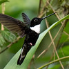 Black Inca hummingbird