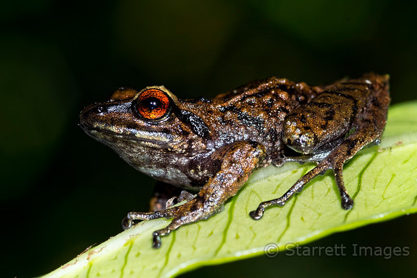 Andean Tree Frog