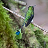 Racket-tailed Hummingbird