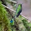 Racket-tailed Hummingbird