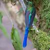 Slyph Hummingbird