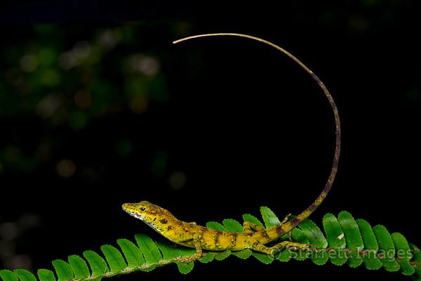 Anole lizard posing