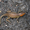 Lava Lizard, male