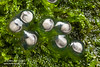 Developing eggs of the mossy frog, Theloderma corticale, from North Vietnam, laid out of the water