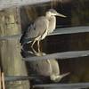 Great Blue Heron<br /> 8x10