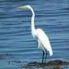 Great Egret<br /> 8x10