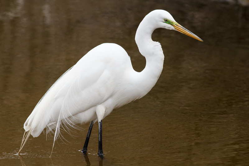 Great Egret, Breeding plumage, Chincoteague National Wildlife Refuge
