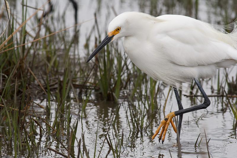 Snowy Egret, Chincoteague National Wildlife Refuge