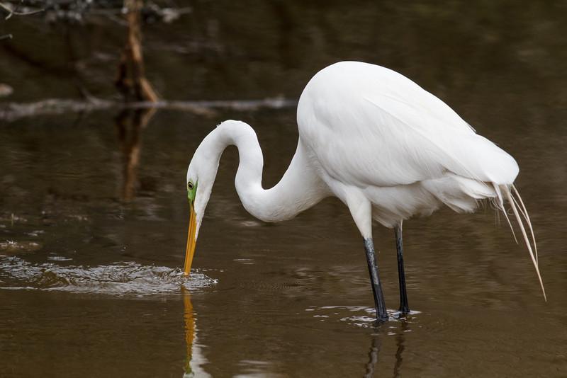 Great Egret, Chincoteague National Wildlife Refuge