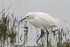 Snowy Egret, Chincoteague National Wildlife Refuge