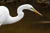 Great Egret, Chincoteague National Wildlife Refuge