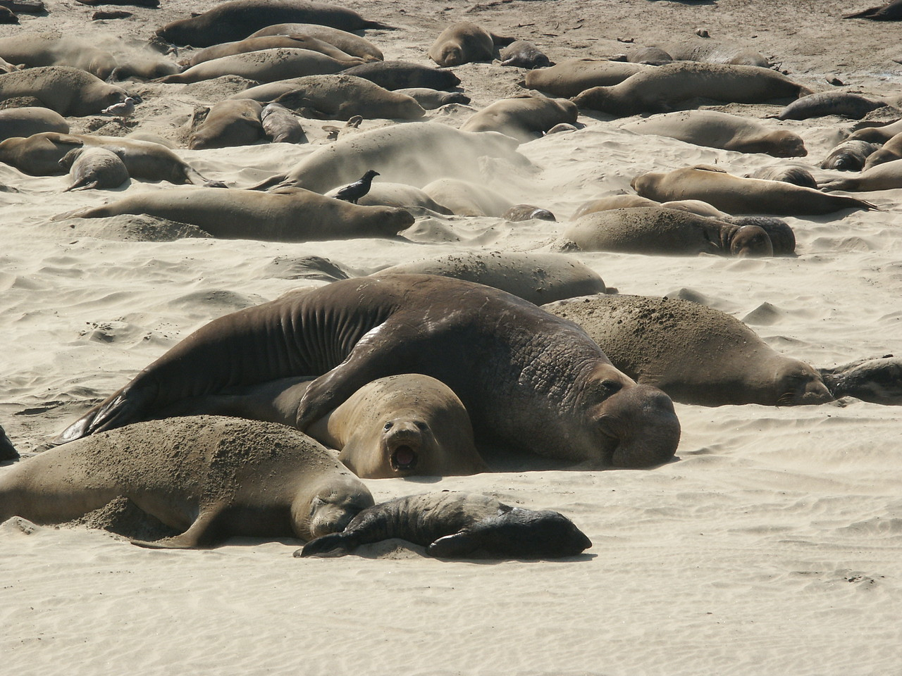 Females give birth to a single 75-pound pup 3 to 6 days after they come on shore, then they gather in large harems.<br /> A young pup can be seen in the foreground.