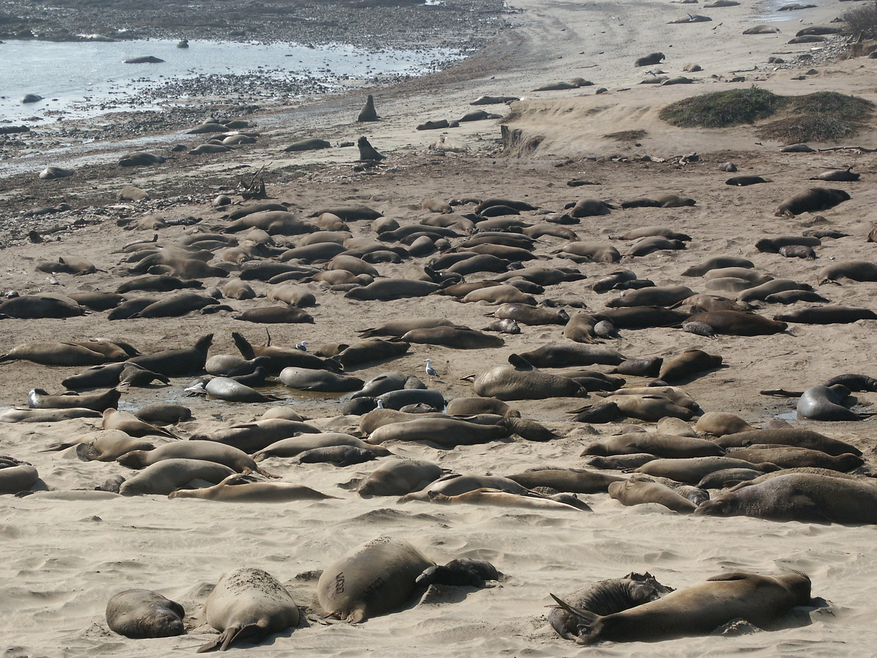 Año Nuevo is the site of the largest breeding colony of the northern elephant seal.