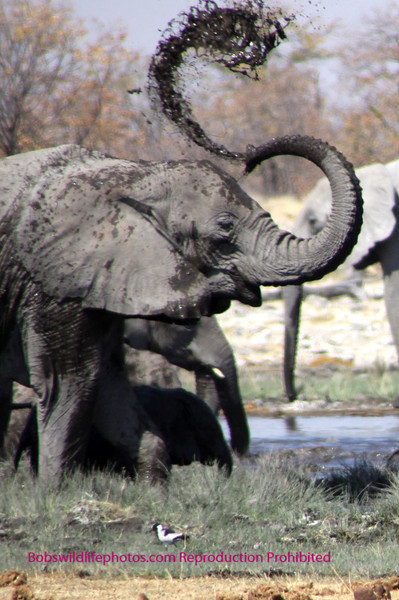 Elephant,Reitfountain waterhole Etosha Park Namibia.