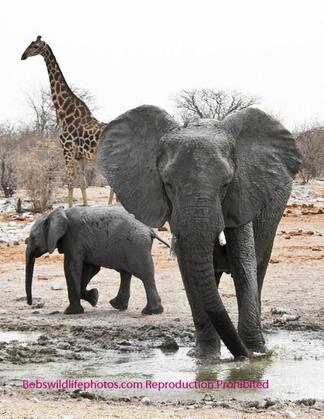 Elephant photo taken in Etosha Park Namibia.