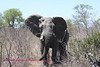 Elephant in Sabi Sands South Africa. Near the Nkorho waterhole