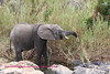 Elephant in Kruger Park South Africa