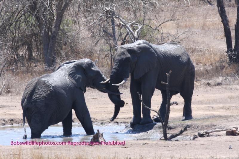 Elephant in Sabi Sands South Africa. Near the Nkorho waterhole
