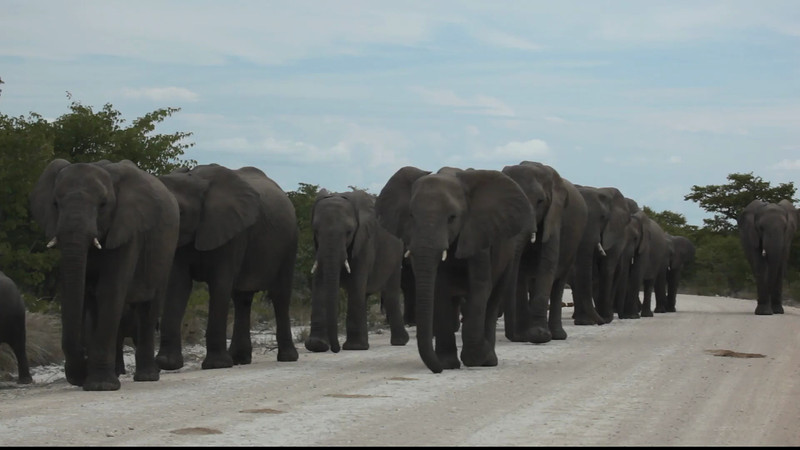 This video was taken in Etosha park not far from Halali (march 2013). We were going down the road when we came upon this breeding herd. As suggested we pulled over to the side and turned our engine off. While, as you can see, some of the animals came very close, I would guess less than a foot. (30mm) We were fine. It was though interesting.