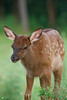 Elk calf, Benezette, Pennsylvania