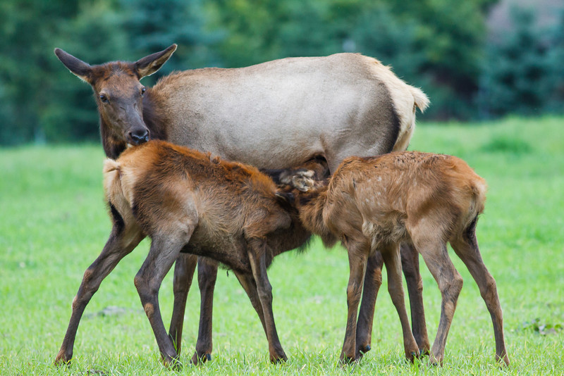 Elk calves, Benezette Pennsylvania