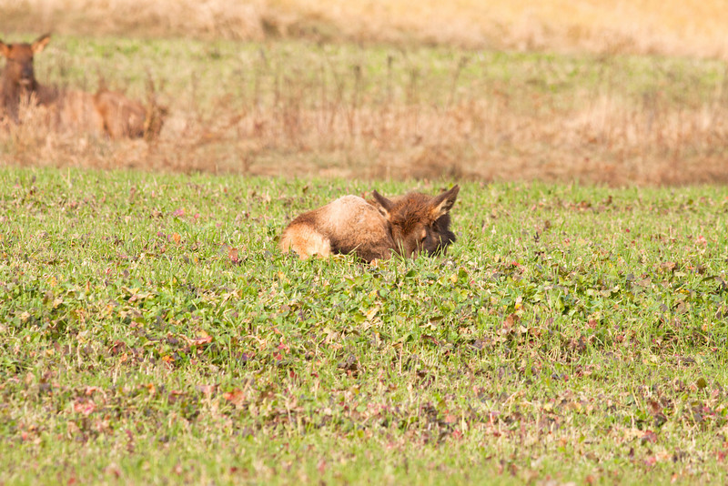 Elk calf, Benezette Pennsylvania