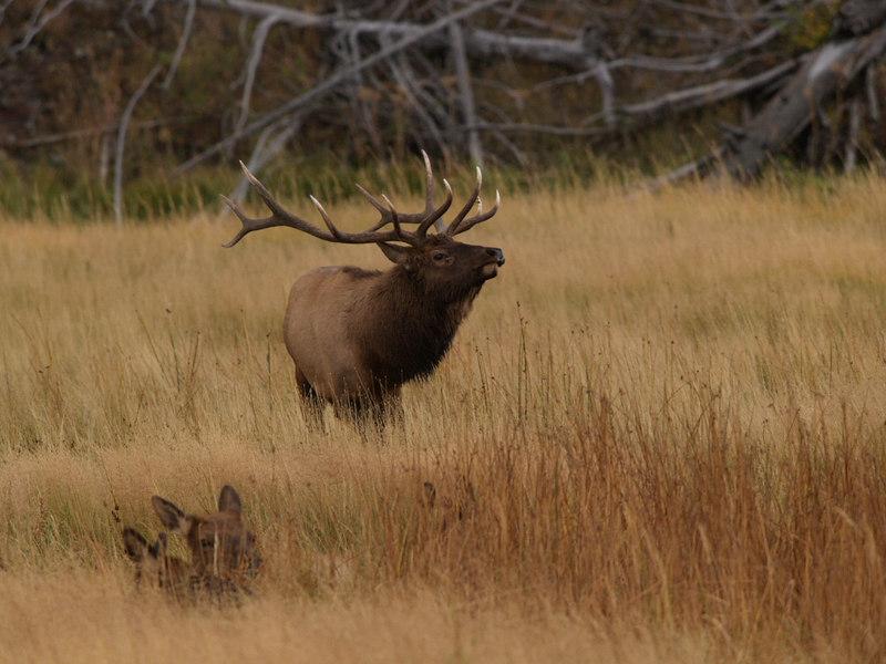 CE 1171<br /> Rocky Mountain Elk or Wapiti (Cervus elaphus nelsonii).