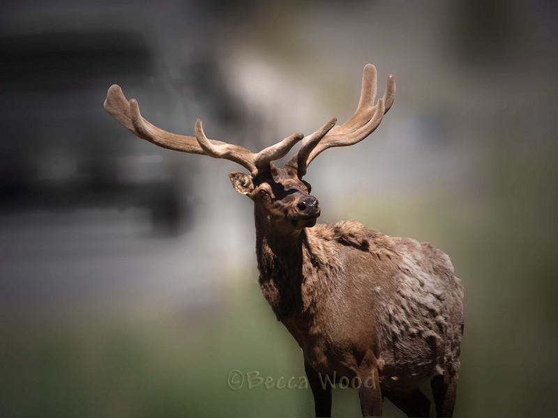 CE 09MY3939<br /> <br /> Rocky Mountain Elk or Wapiti (Cervus elaphus nelsonii).