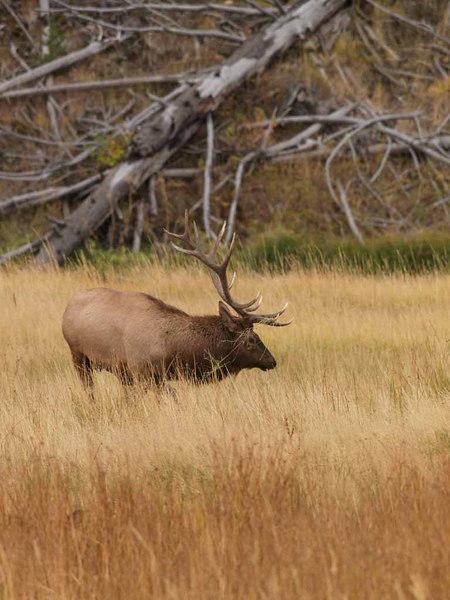 CE 1199<br /> Rocky Mountain Elk or Wapiti (Cervus elaphus nelsonii).