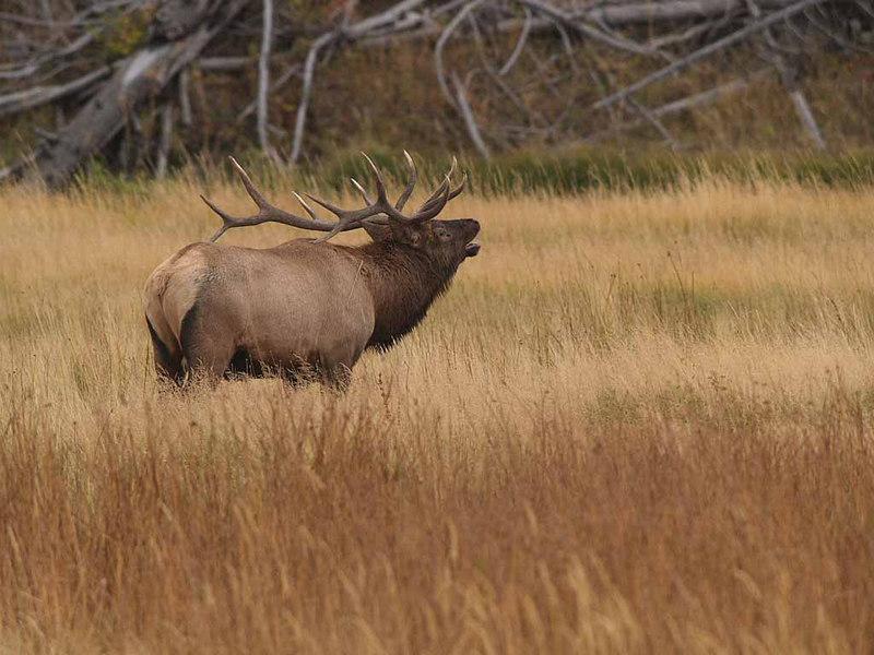 CE 1158<br /> Rocky Mountain Elk or Wapiti (Cervus elaphus nelsonii).