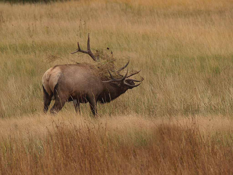 CE1102<br /> Rocky Mountain Elk or Wapiti (Cervus elaphus nelsonii).<br /> <br /> If you look closely at the tips of his antlers you will see that they are much lighter in color.   This is due to tearing up the turf.