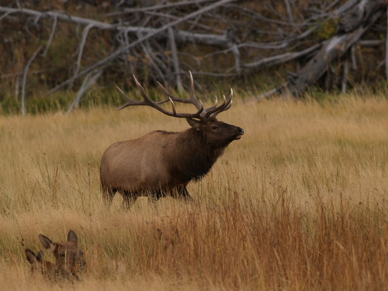 CE 1173<br /> Rocky Mountain Elk or Wapiti (Cervus elaphus nelsonii).