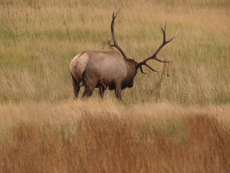 CE 1104<br /> Rocky Mountain Elk or Wapiti (Cervus elaphus nelsonii).