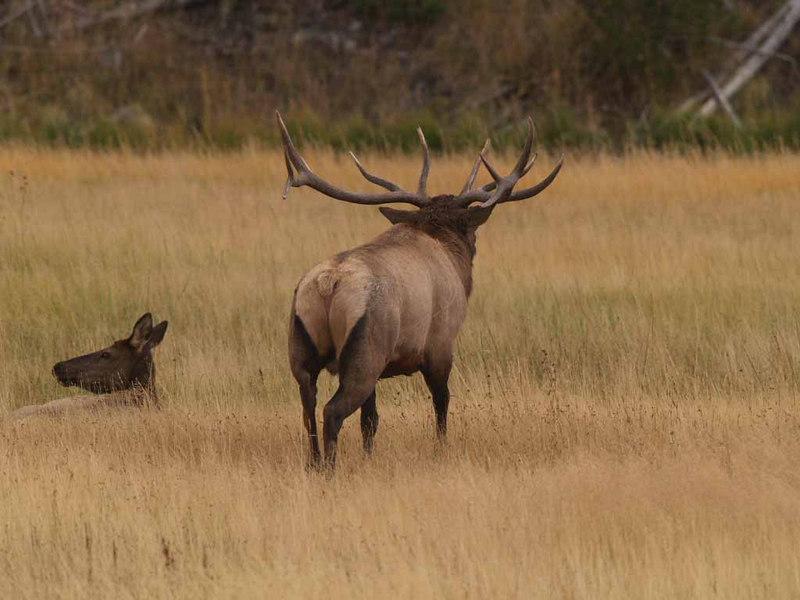 CE 1148<br /> Rocky Mountain Elk or Wapiti (Cervus elaphus nelsonii).  Bull and cow elk.  She is part of his harem.