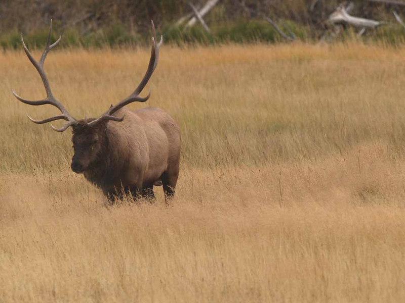 CE1133<br /> Rocky Mountain Elk or Wapiti (Cervus elaphus nelsonii).
