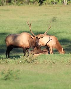 Elk 014