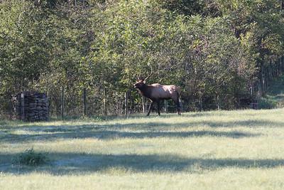Elk 002
