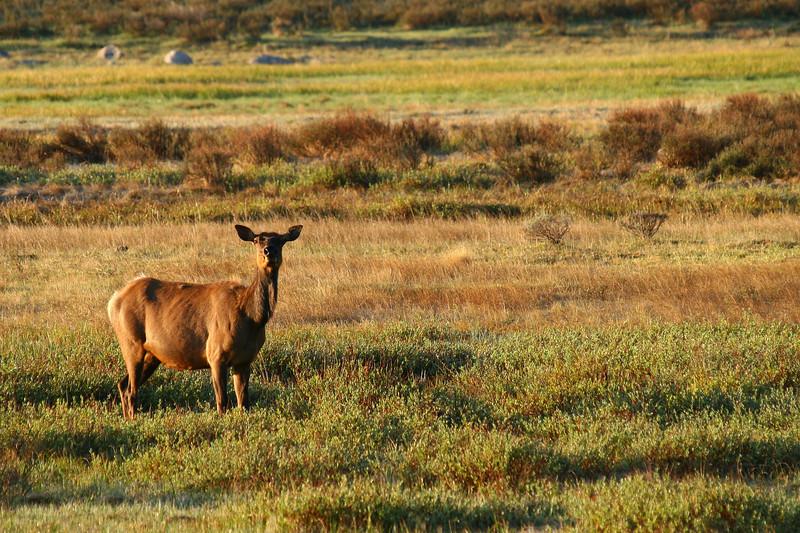 Pregnant cow elk