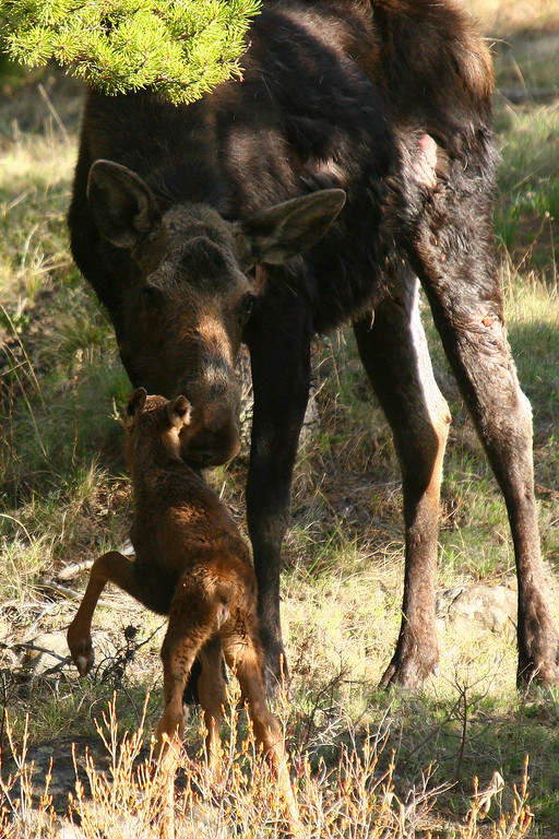 The injured cow also had a young calf