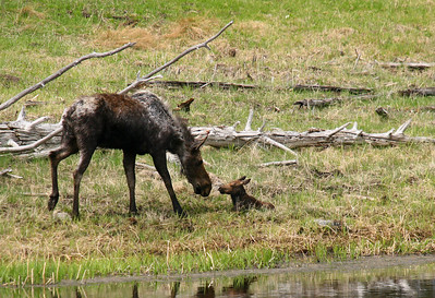 This young moose calf was head-whipped by a 2000 pound bison twice into the pond and was injured.  The cow had tried to distract the bison from her calf by taunting it, but it only pissed the bison off.  A fellow photographer caught the entire sequence, one image of which can be seen HERE