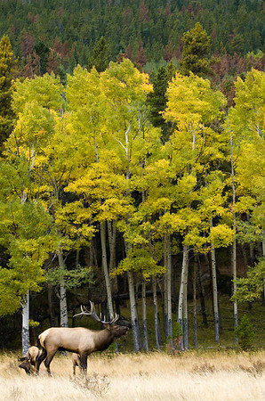 A bull elk bugles in front of a stand of aspen trees