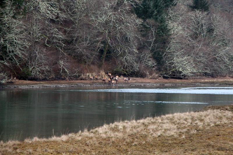 After crossing Bone River the elk head toward the woods.