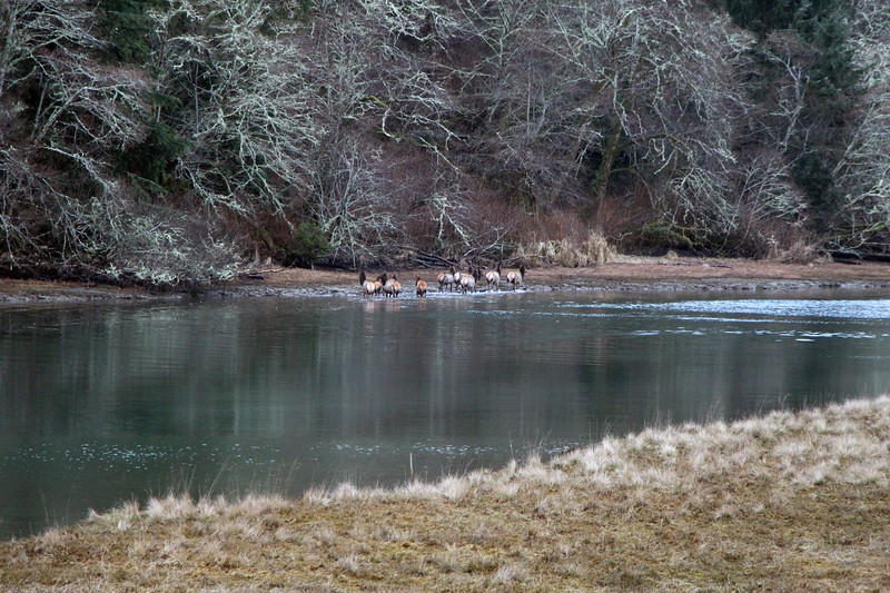 The elk have crossed the river and are walking toward the shore.